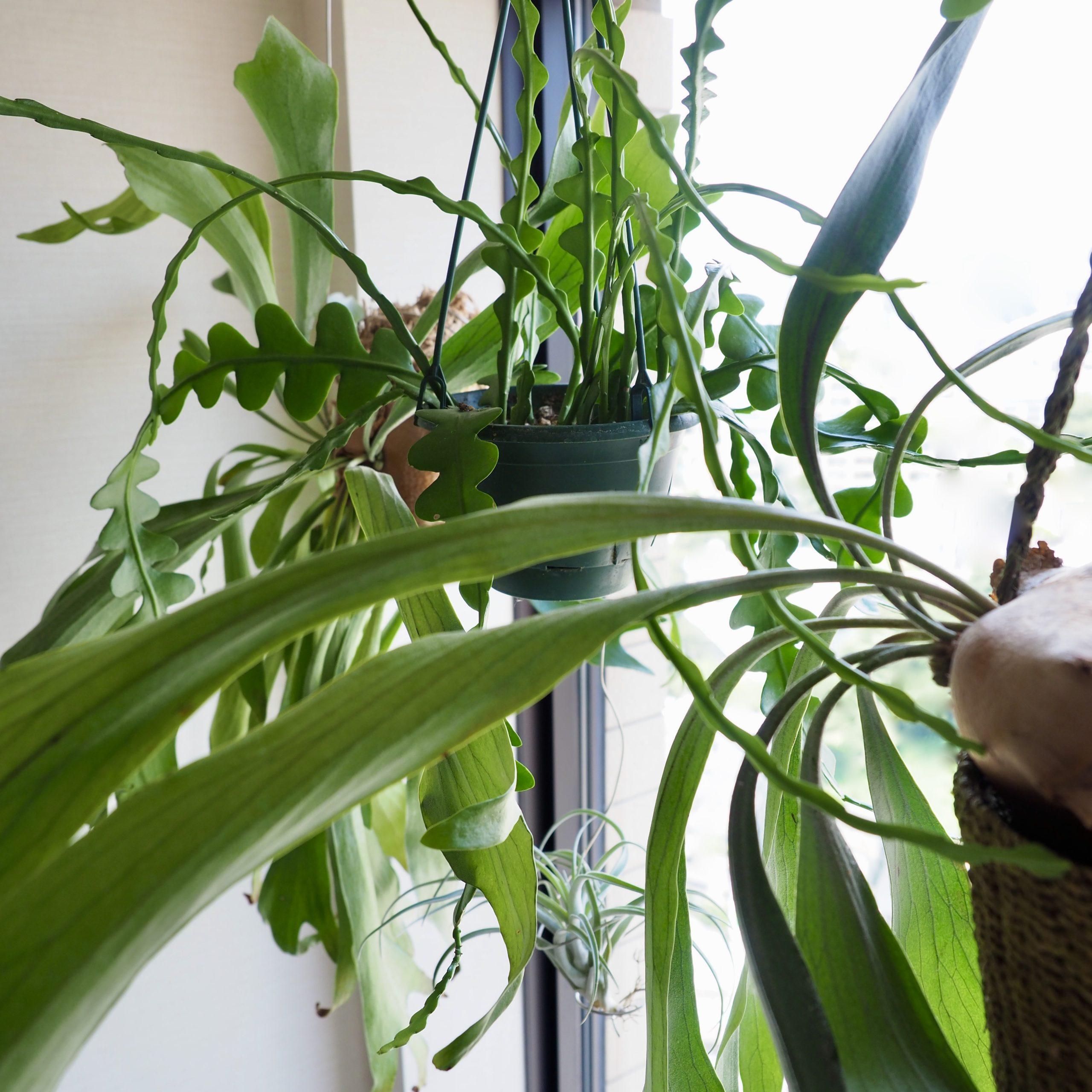 【植物をキレイに育てるには!?】光量と同じぐらい風通しも大事【キッチンの窓辺の植物】   植物属インテリ...